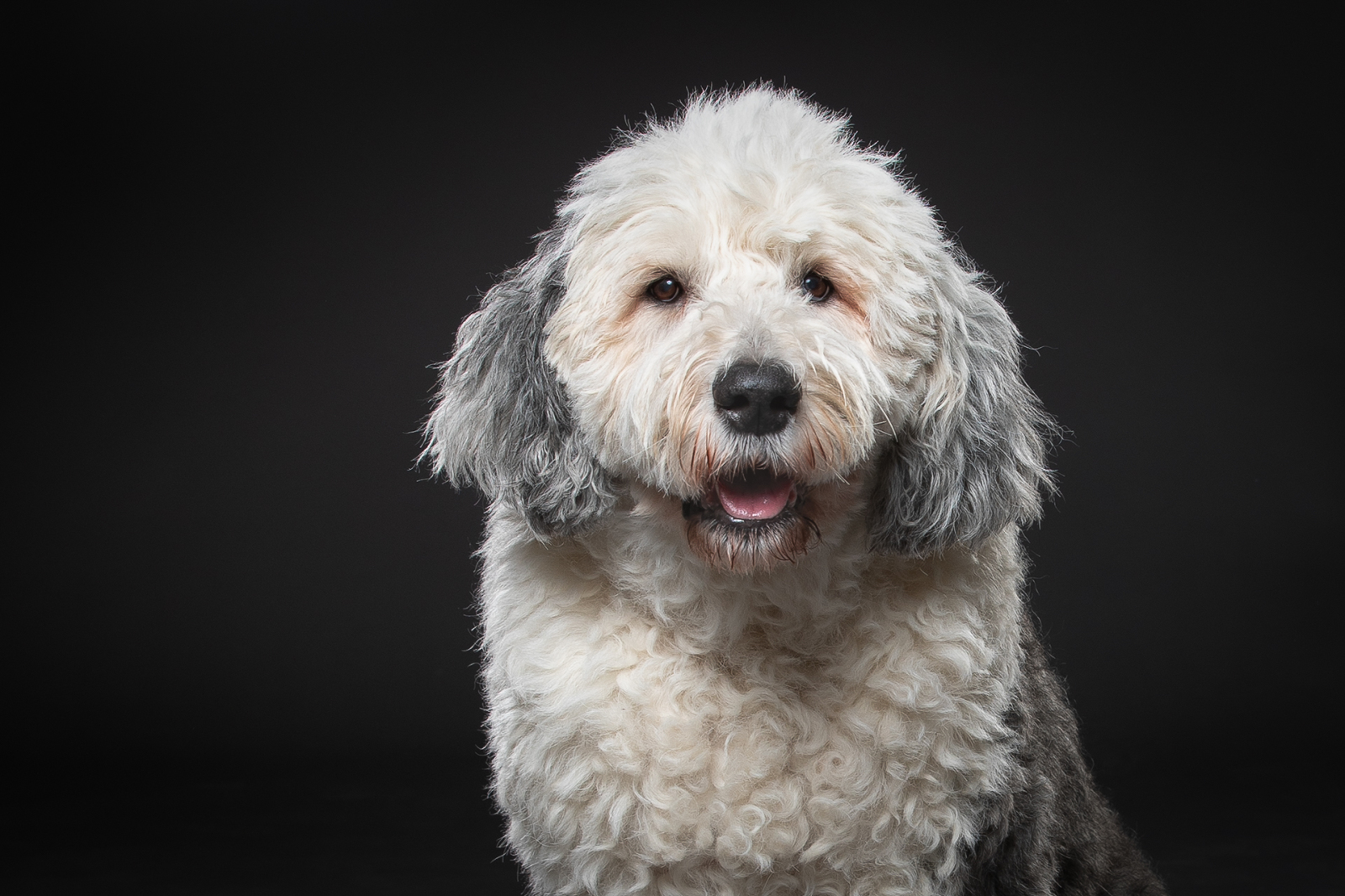 Old English Sheep Dog Studio Portrait
