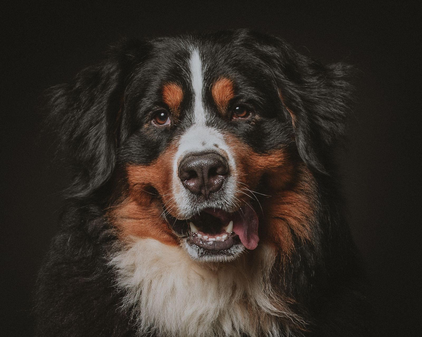 Dog headshot of Bernese mountain dog on a dark background
