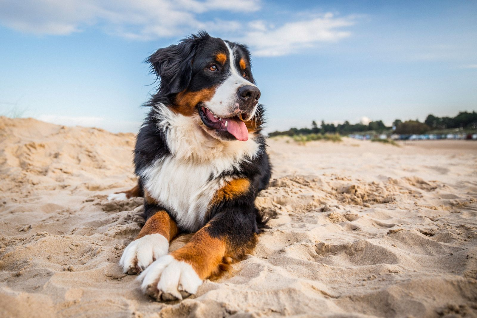 Bernese Mountain Dog Portrait on the Beach