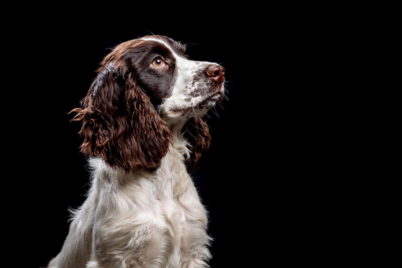 Spaniel Dog Studio Portrait Sitting in profile with black background