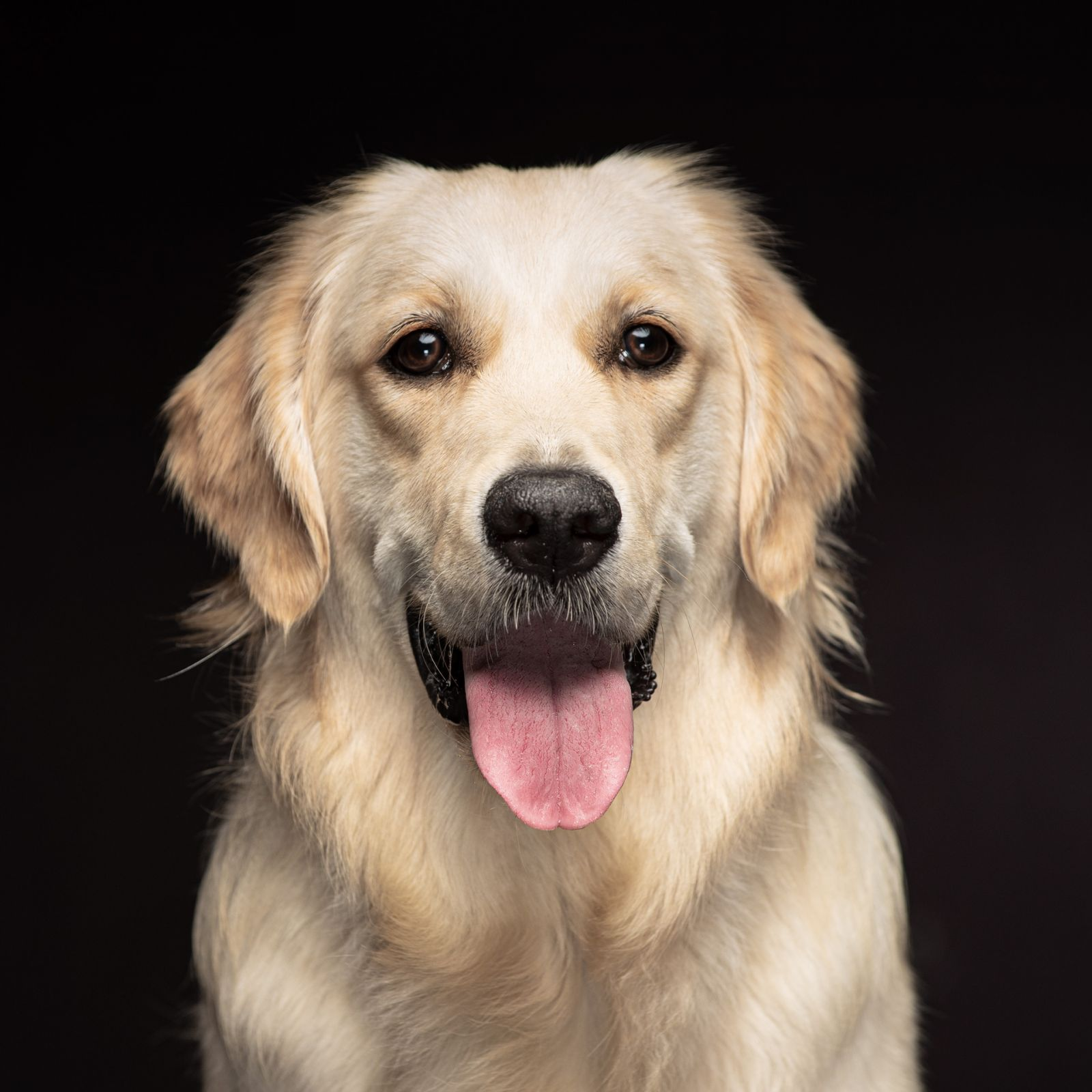 Larbrador Retriver with tongue out portrait with black background