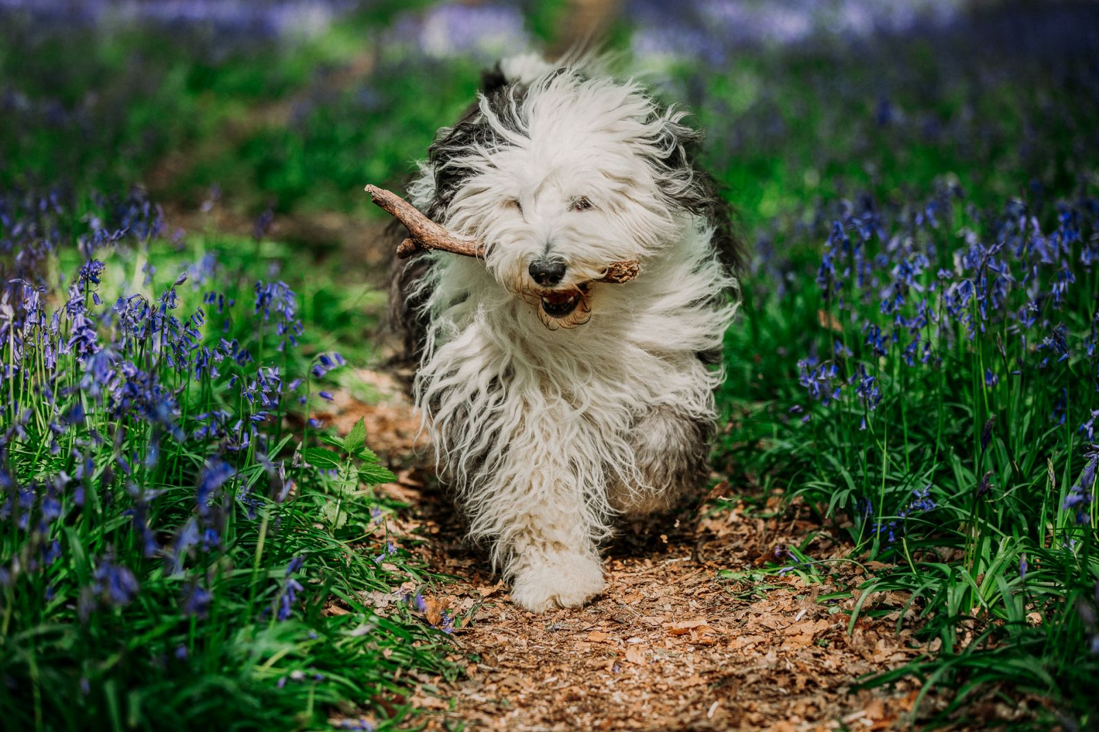 Old English Sheepdog carrying a stick on a path through bluebells