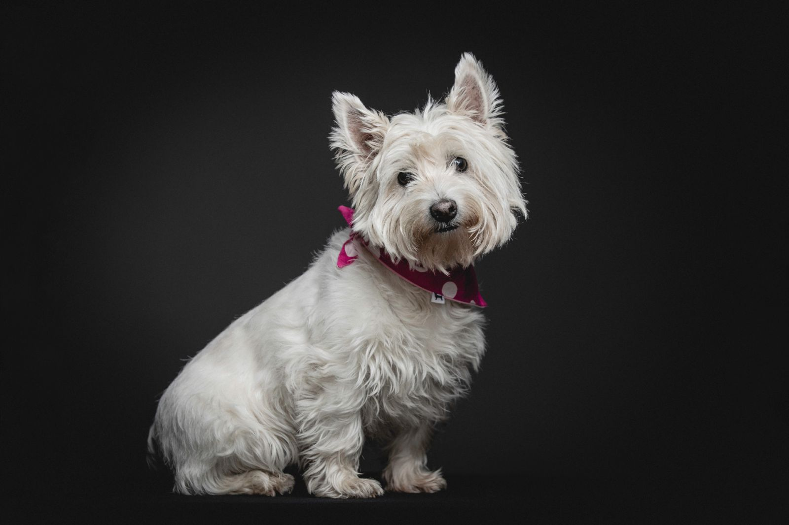 West Highland Terrier Studio Portrait With Pink Bandana