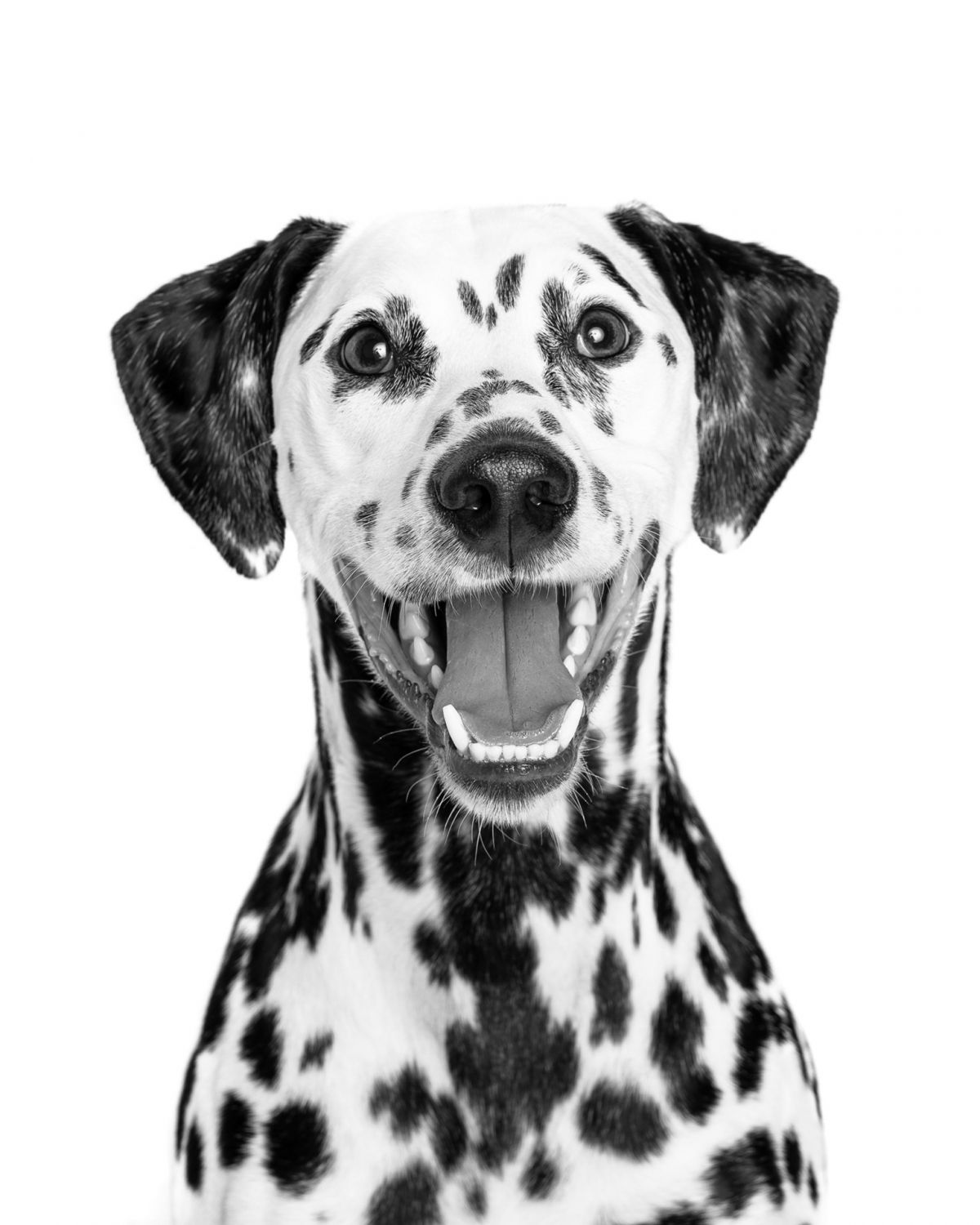Black and White Dalmation on White Background