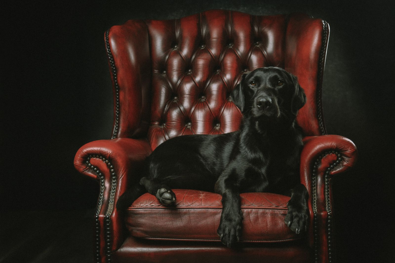 Black Labrador in Chesterfield Armchair