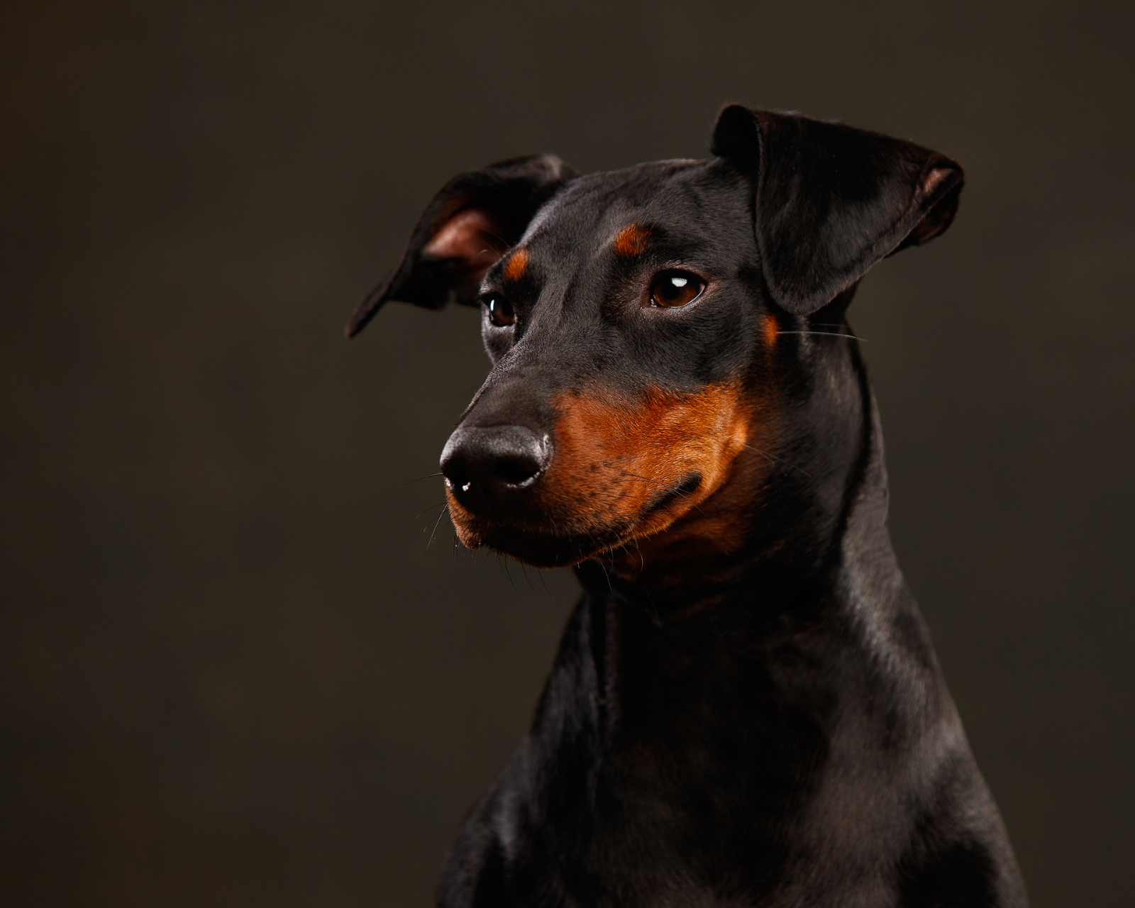 Black and tan dog portrait photo